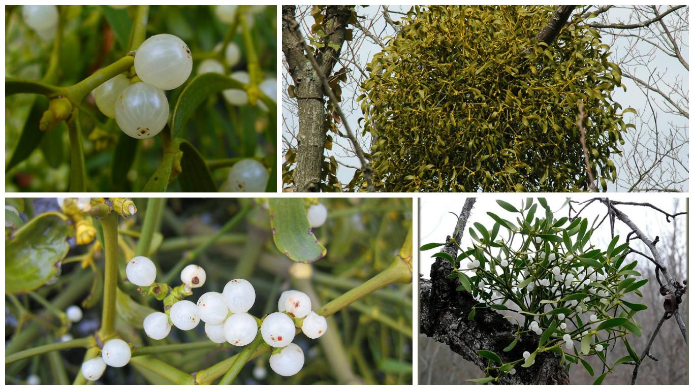 Травы омела и липа: рецепт для похудения Омела и липа для похудения рецепт